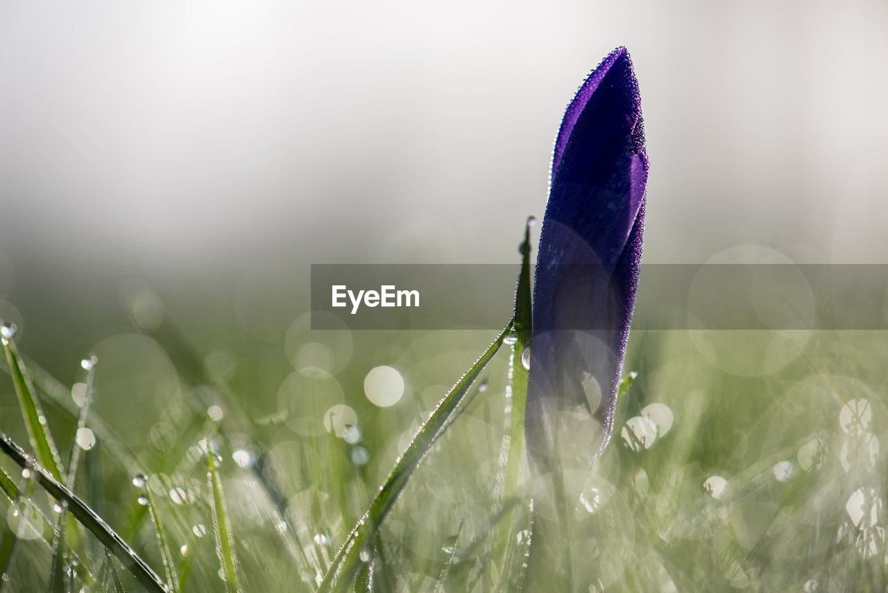 nature, growth, grass, freshness, plant, fragility, flower, close-up, beauty in nature, selective focus, outdoors, day, no people, flower head, crocus