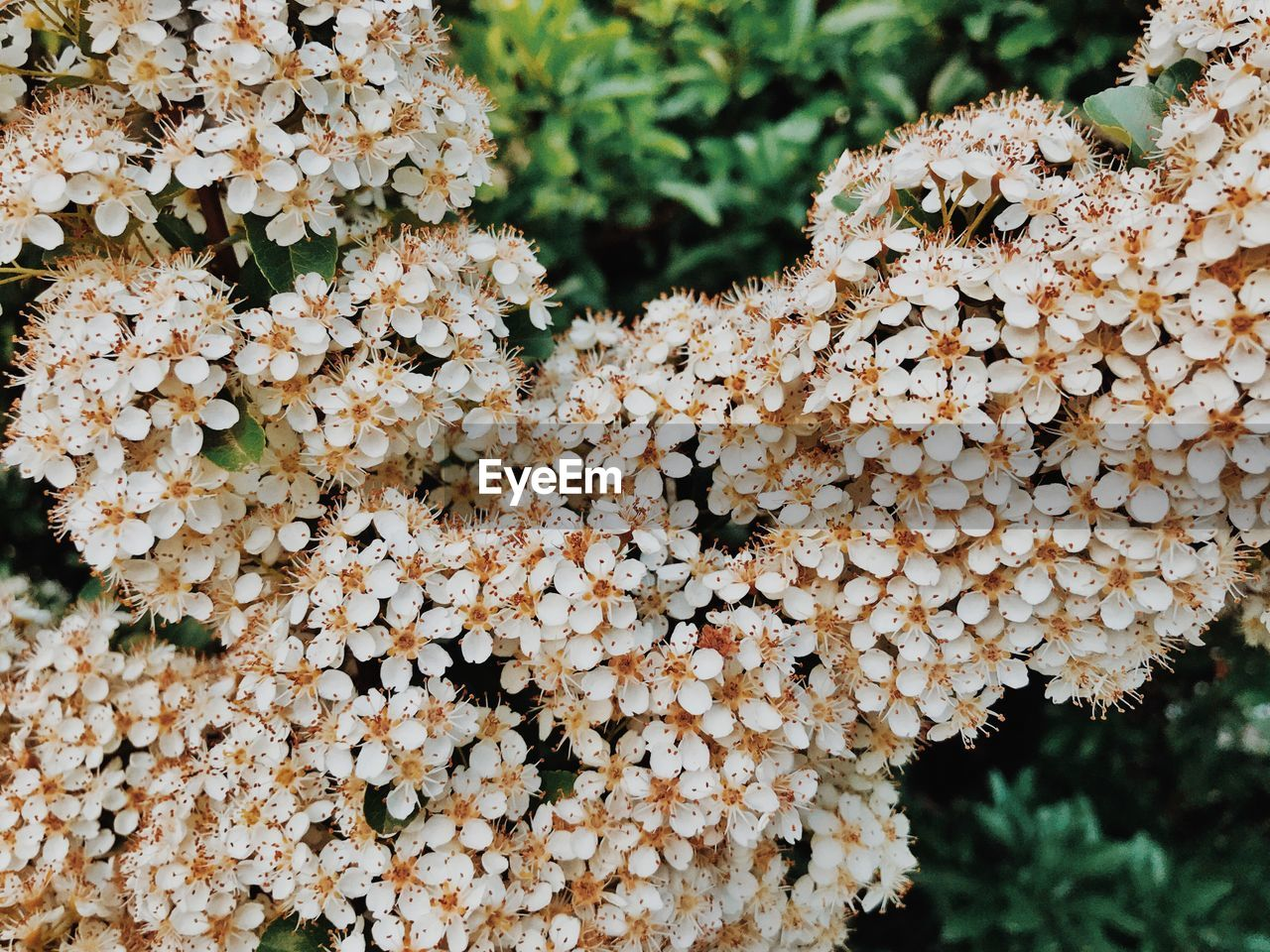 Close-Up Of Hydrangea Flowers Growing On Land