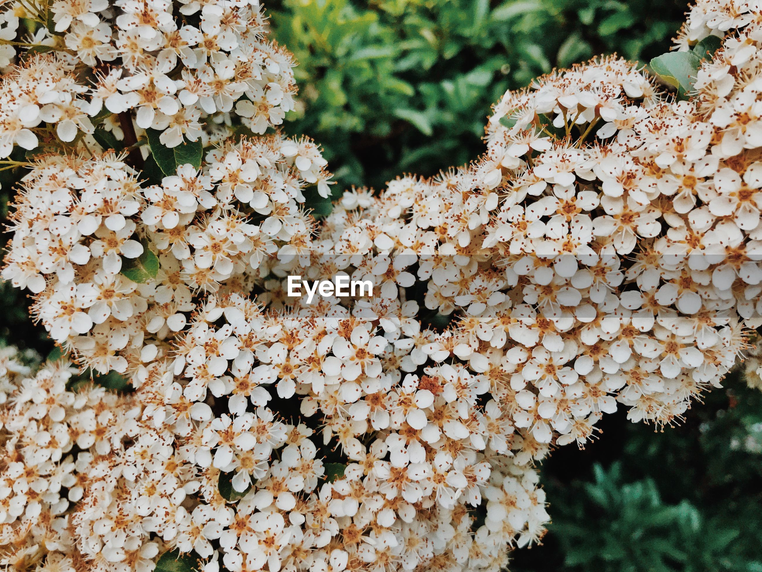 CLOSE-UP OF HYDRANGEA GROWING ON PLANT