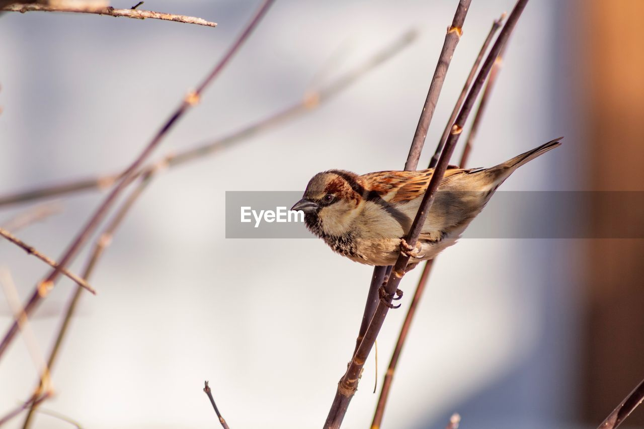 animal wildlife, animal, animal themes, animals in the wild, focus on foreground, one animal, bird, vertebrate, beauty in nature, close-up, plant, perching, no people, day, nature, selective focus, brown, sparrow, outdoors, insect, butterfly - insect