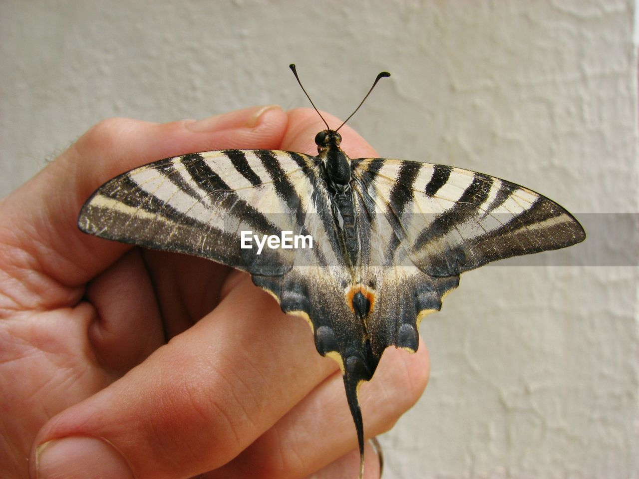 Cropped Hand With Swallowtail Butterfly Against Wall