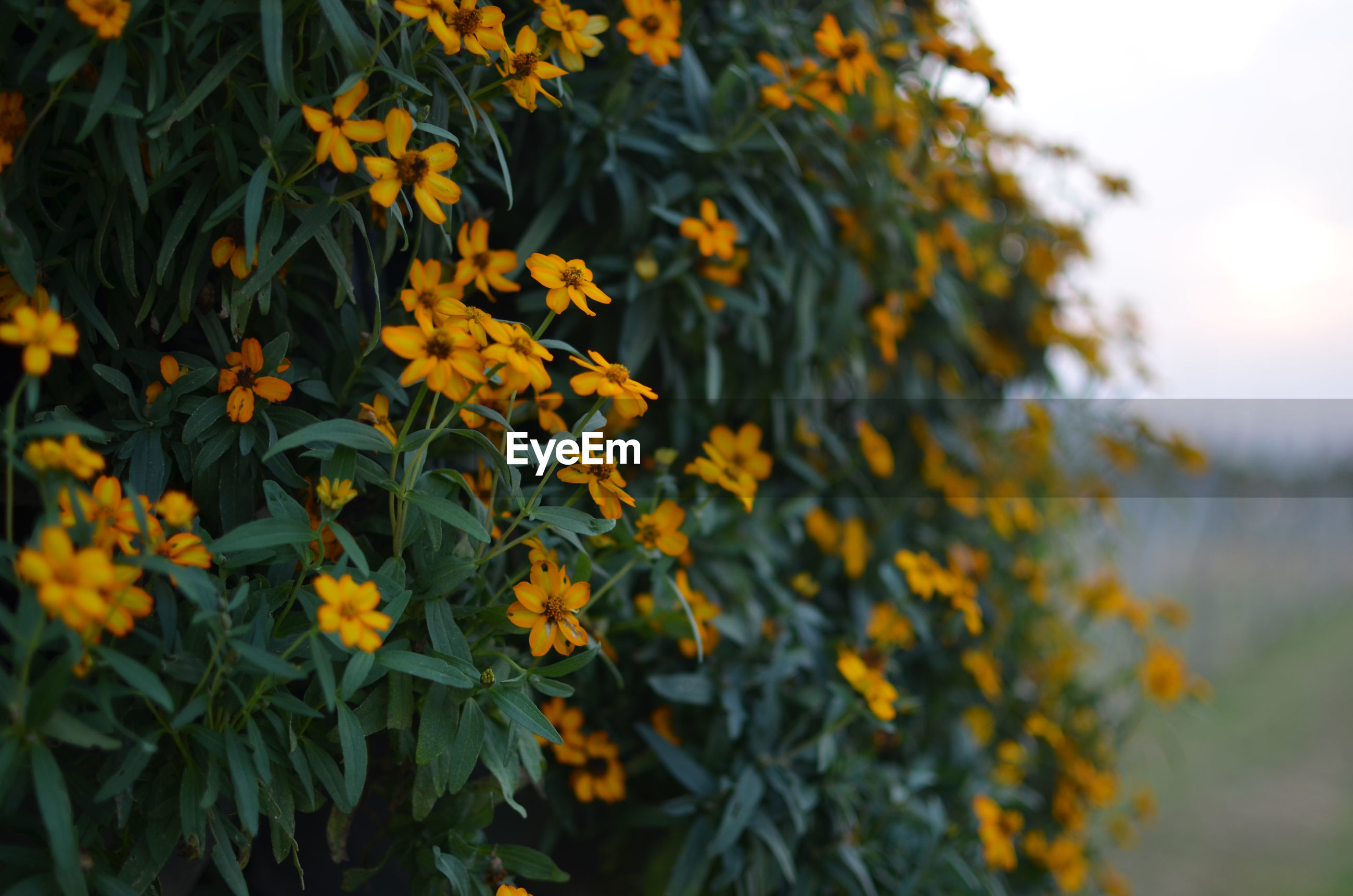 CLOSE-UP OF YELLOW FLOWERING PLANTS OUTDOORS