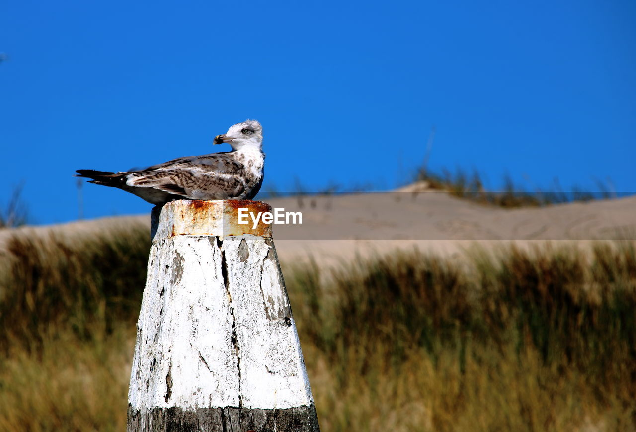 one animal, vertebrate, bird, animal, animal themes, animal wildlife, animals in the wild, land, sky, nature, day, no people, grass, field, plant, focus on foreground, post, blue, perching, clear sky, outdoors, wooden post