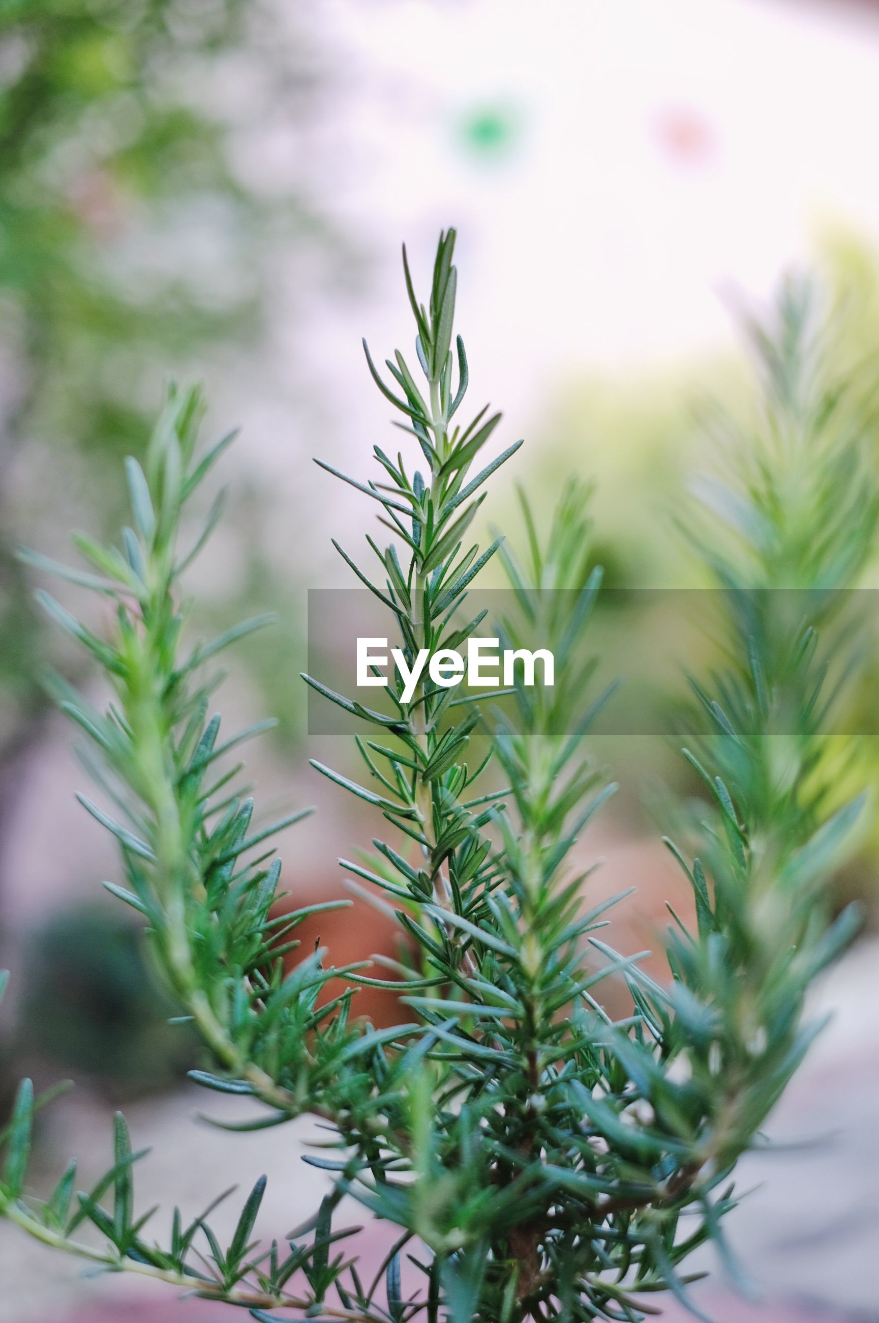 Close up, green leaves of rosemary in the herb garden. aromatic herb, selective focus