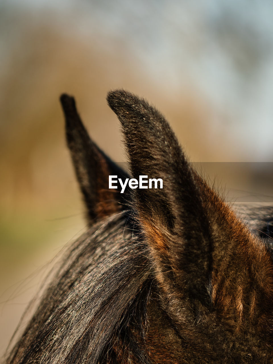 one animal, animal themes, animal, mammal, focus on foreground, close-up, pets, animal body part, domestic, domestic animals, vertebrate, no people, day, animal wildlife, animal hair, hair, nature, selective focus, brown, animals in the wild, animal head, herbivorous