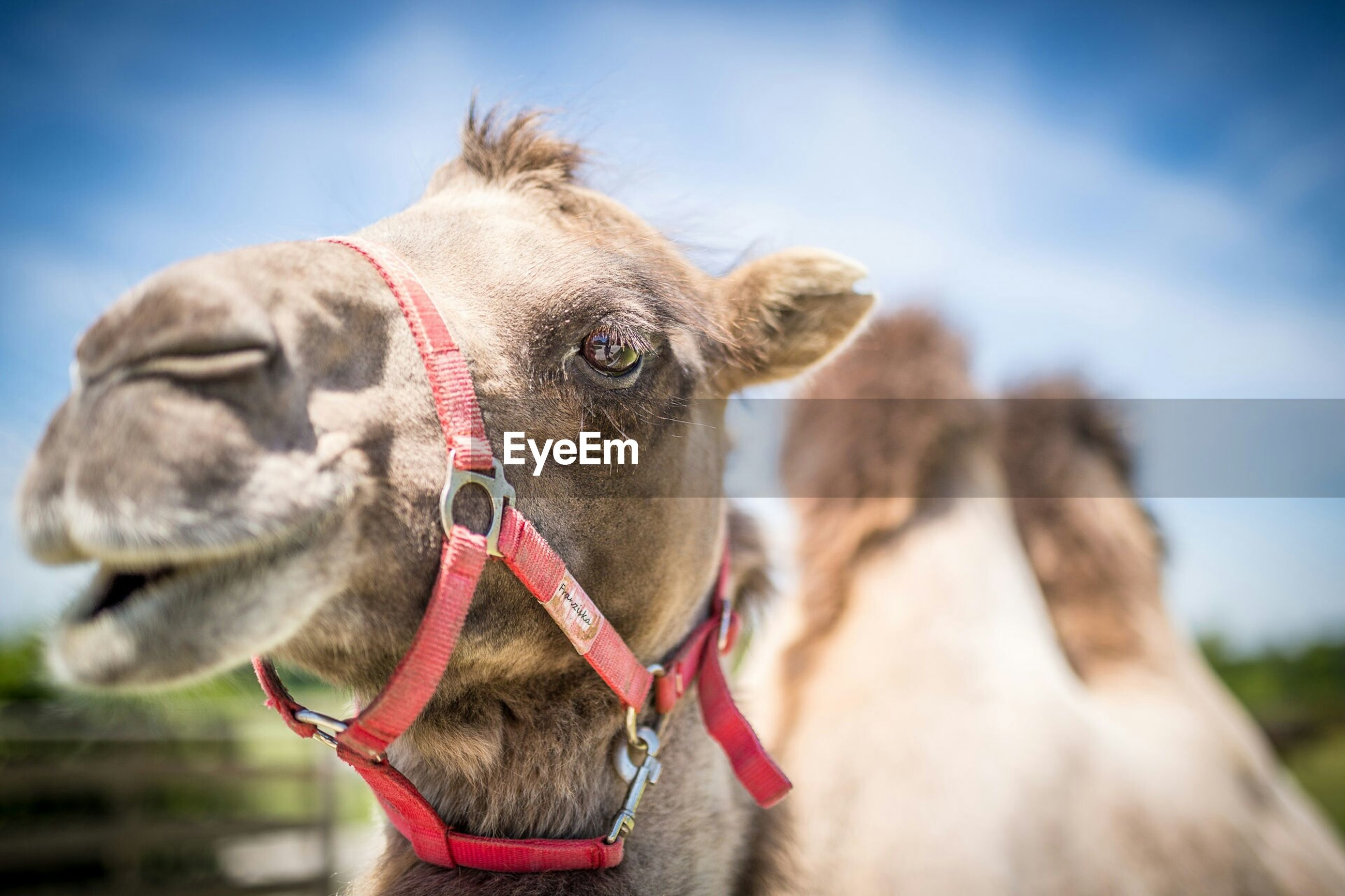 animal themes, one animal, domestic animals, mammal, focus on foreground, close-up, animal head, sky, horse, livestock, working animal, dog, portrait, day, outdoors, sunlight, animal body part, nature, looking at camera, camel