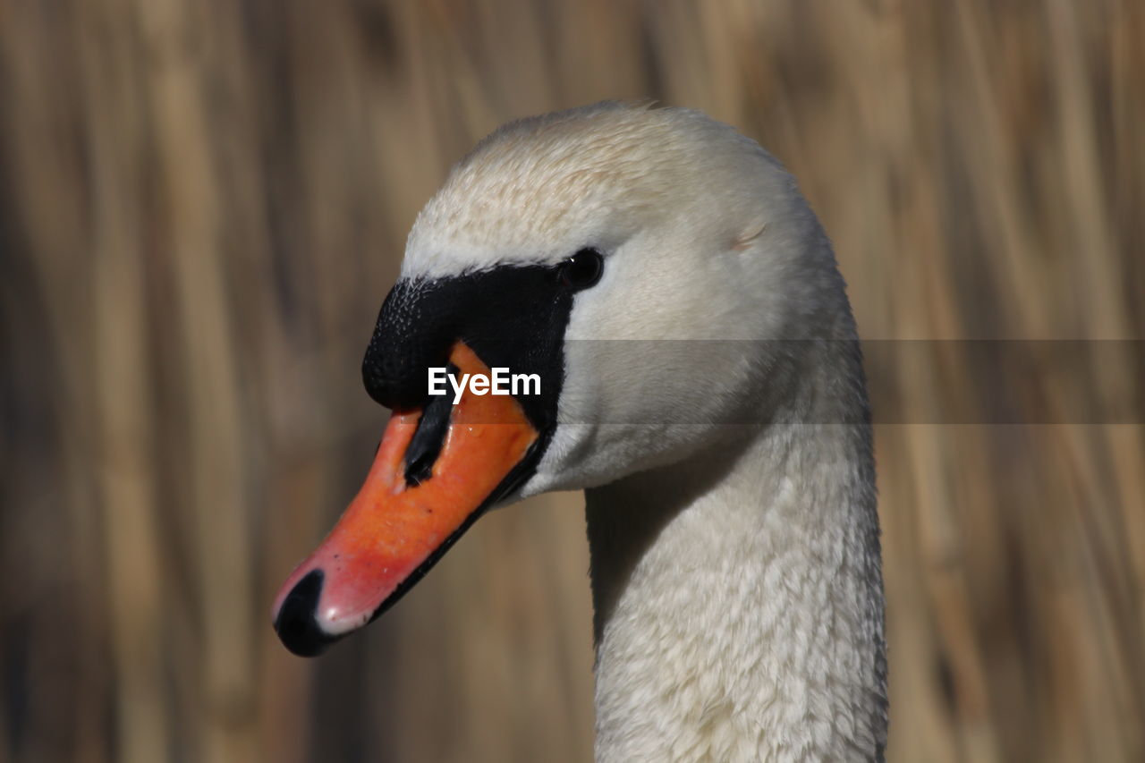 CLOSE-UP OF SWAN IN A ZOO