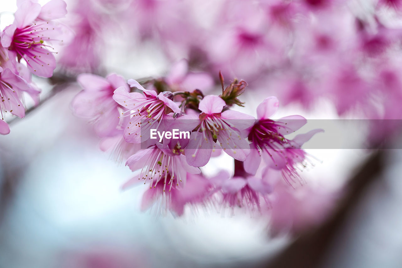 flower, flowering plant, pink color, freshness, beauty in nature, fragility, vulnerability, plant, selective focus, close-up, growth, petal, blossom, nature, flower head, springtime, day, inflorescence, no people, cherry blossom, pollen, outdoors, cherry tree, bunch of flowers