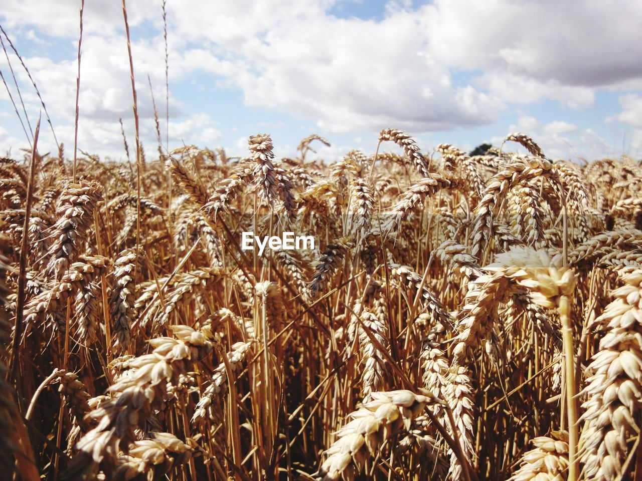 growth, agriculture, crop, cereal plant, field, nature, sky, farm, tranquility, day, plant, tranquil scene, cloud - sky, rural scene, wheat, no people, outdoors, ear of wheat, beauty in nature, landscape, close-up