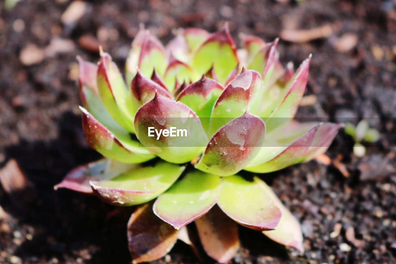 growth, close-up, freshness, nature, no people, beauty in nature, green color, day, succulent plant, plant, focus on foreground, plant part, leaf, field, high angle view, flower, land, outdoors, food and drink, beginnings, flower head