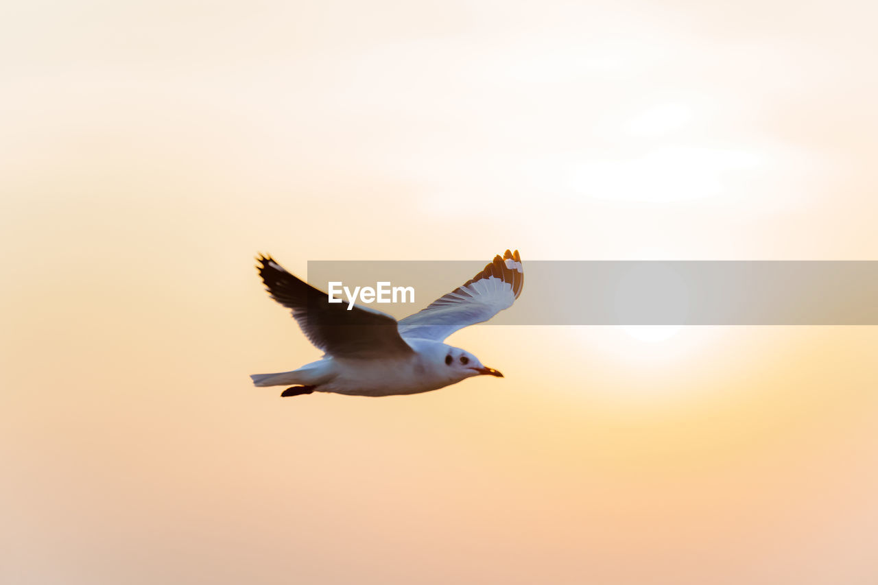 Pictures of seagulls flying in the sky and the sunset