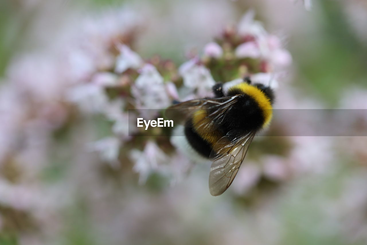 bee, invertebrate, animals in the wild, one animal, flower, animal wildlife, animal themes, animal, insect, beauty in nature, close-up, flowering plant, day, fragility, growth, no people, petal, pollination, plant, vulnerability, flower head, bumblebee, animal wing