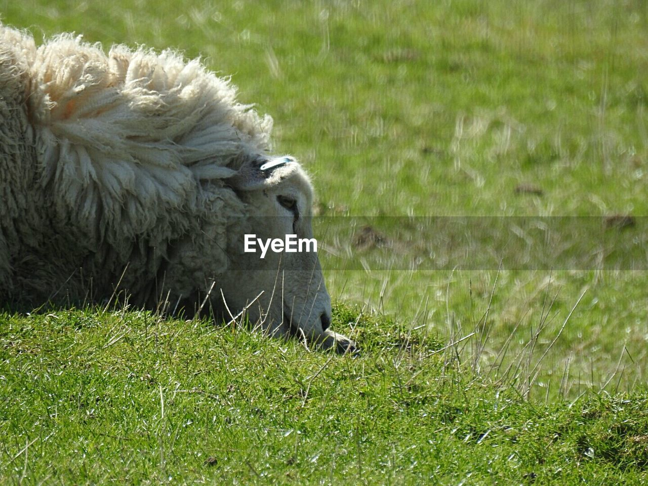 animal themes, grass, mammal, animal, plant, field, land, vertebrate, domestic animals, green color, one animal, pets, livestock, no people, nature, day, relaxation, sheep, domestic, animal wildlife, outdoors, herbivorous, animal head