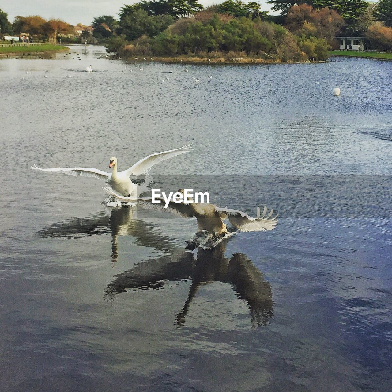 SWAN FLYING BY LAKE
