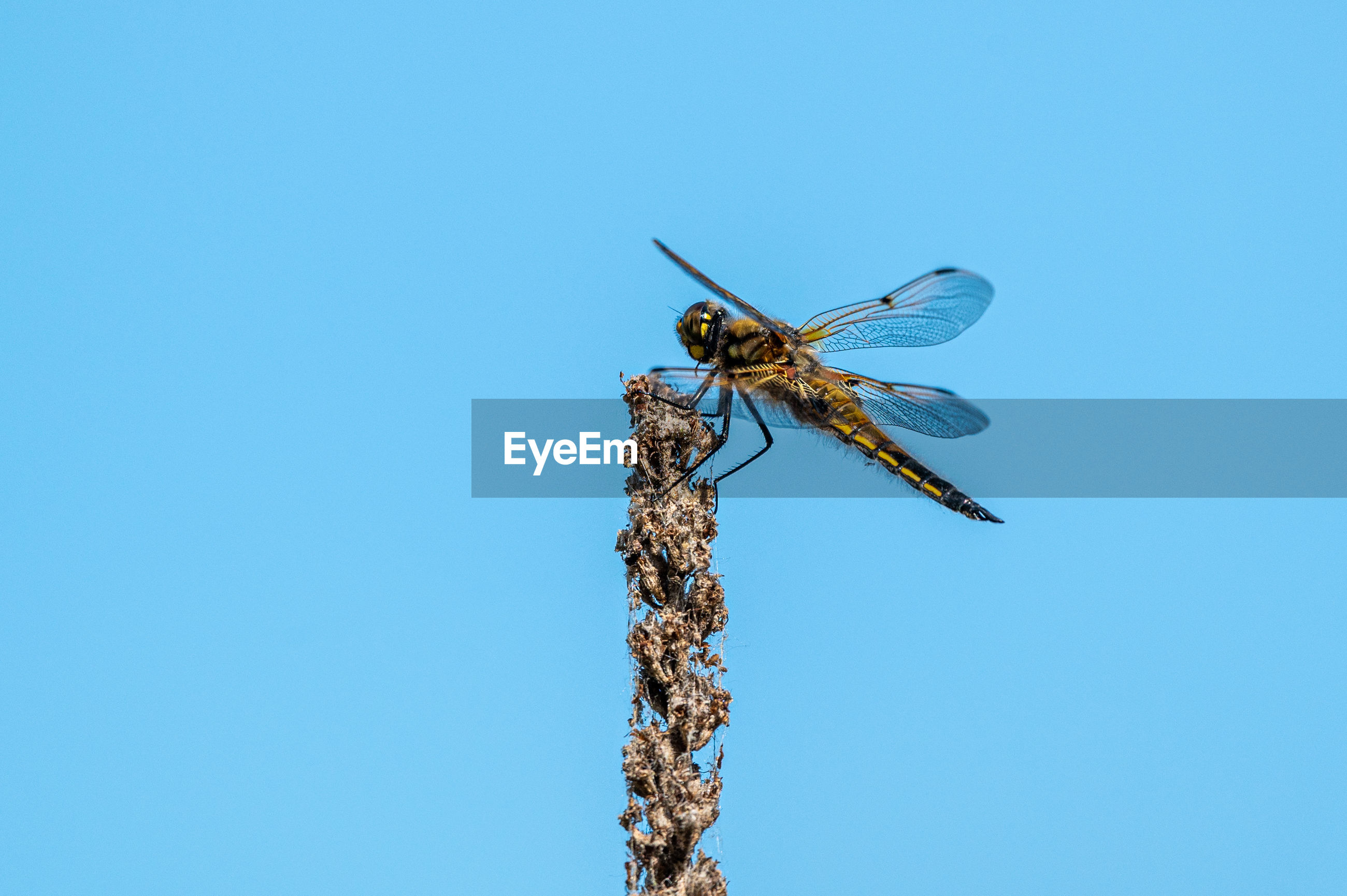 Four spotted chaser dragonfly, libellula quadrimaculata, female