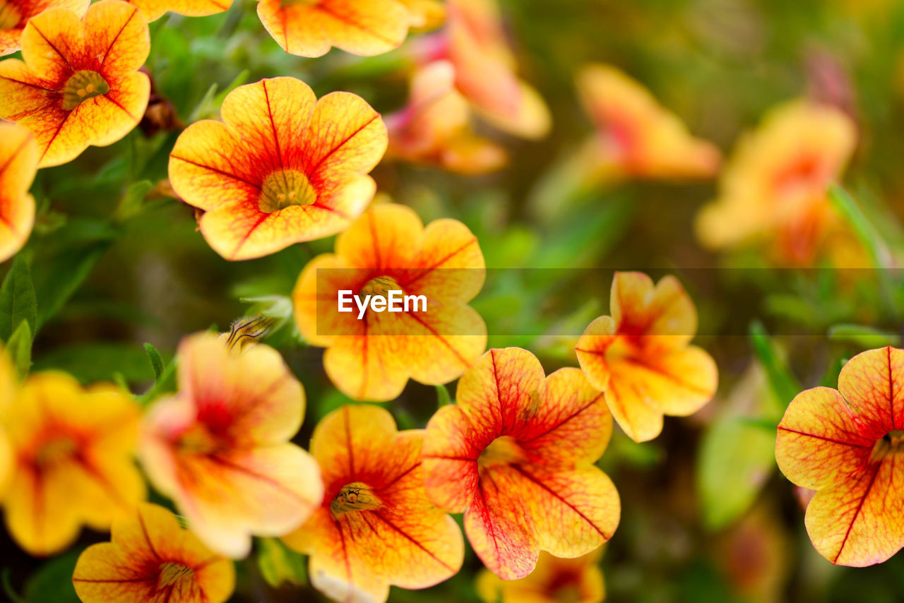 flowering plant, flower, plant, beauty in nature, growth, fragility, close-up, vulnerability, petal, freshness, flower head, inflorescence, selective focus, no people, nature, day, focus on foreground, orange color, outdoors, yellow