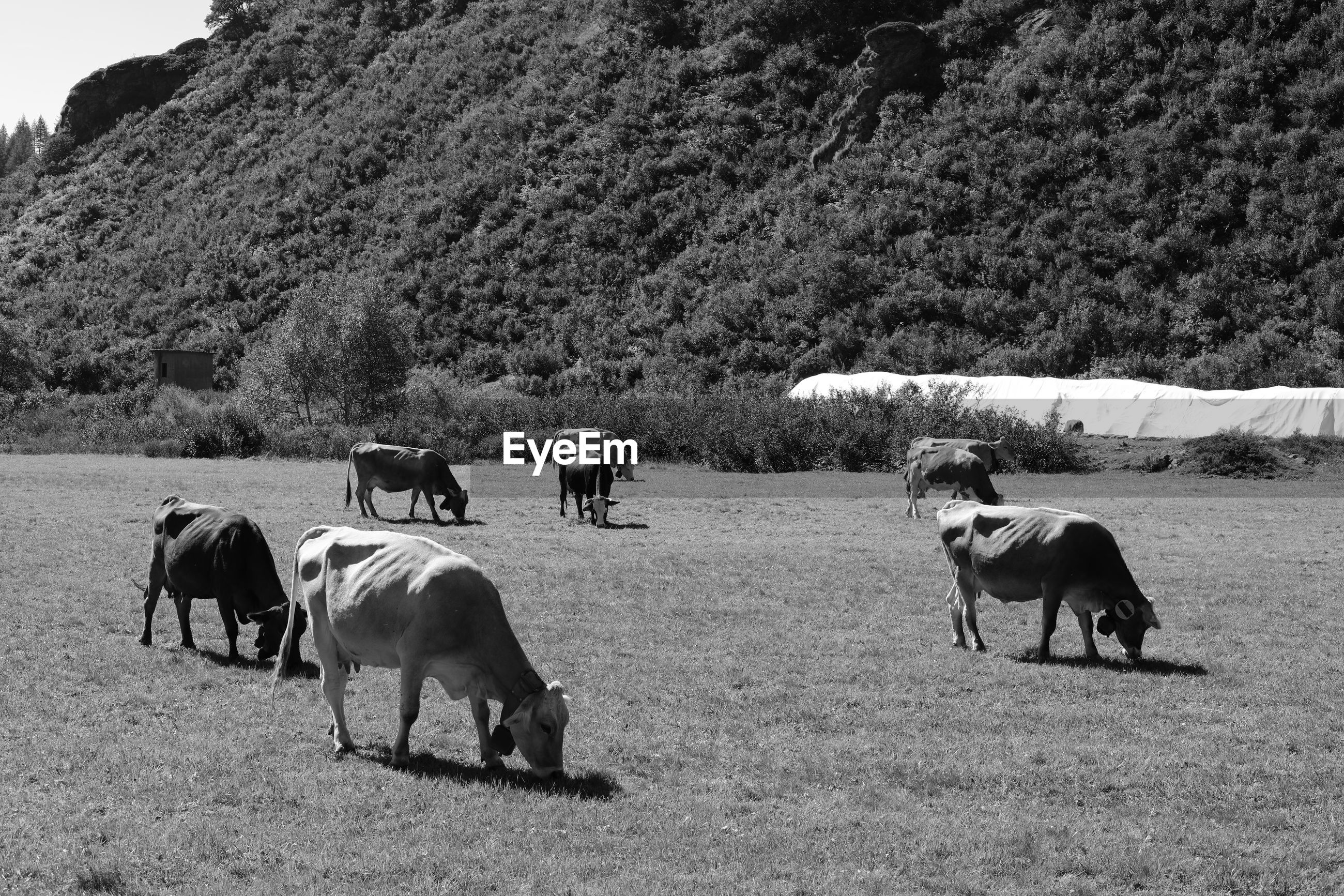 VIEW OF COWS GRAZING IN FIELD