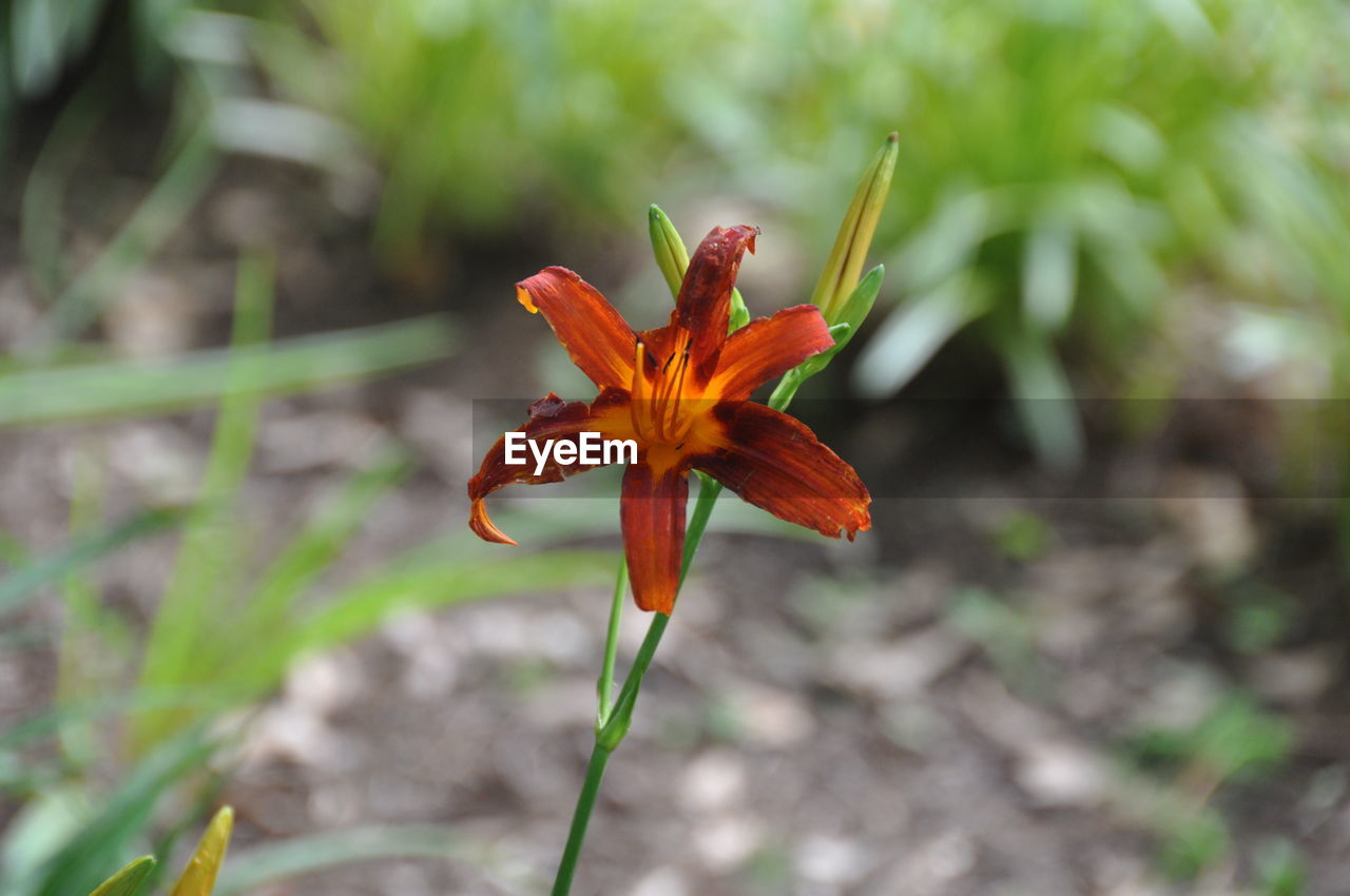 flower, growth, petal, plant, flower head, nature, focus on foreground, day, fragility, close-up, outdoors, beauty in nature, freshness, no people, day lily, blooming