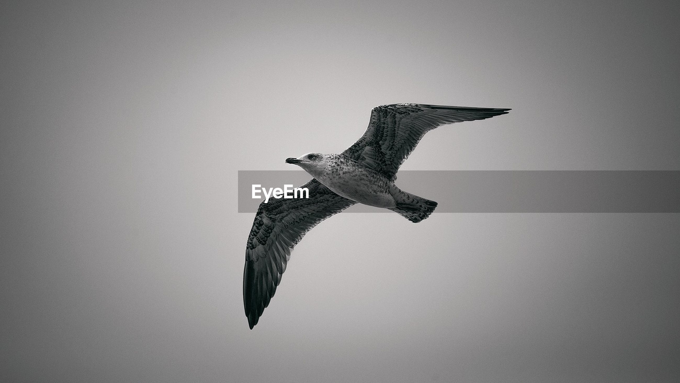 Seagull in mid-air
