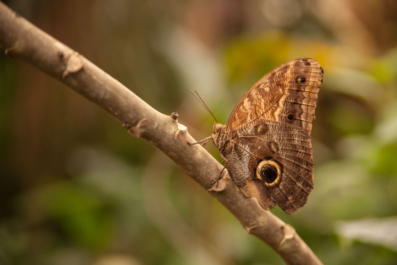 animal wildlife, animals in the wild, invertebrate, one animal, animal, insect, animal themes, focus on foreground, close-up, day, nature, animal wing, plant, no people, selective focus, butterfly - insect, beauty in nature, tree, brown, outdoors