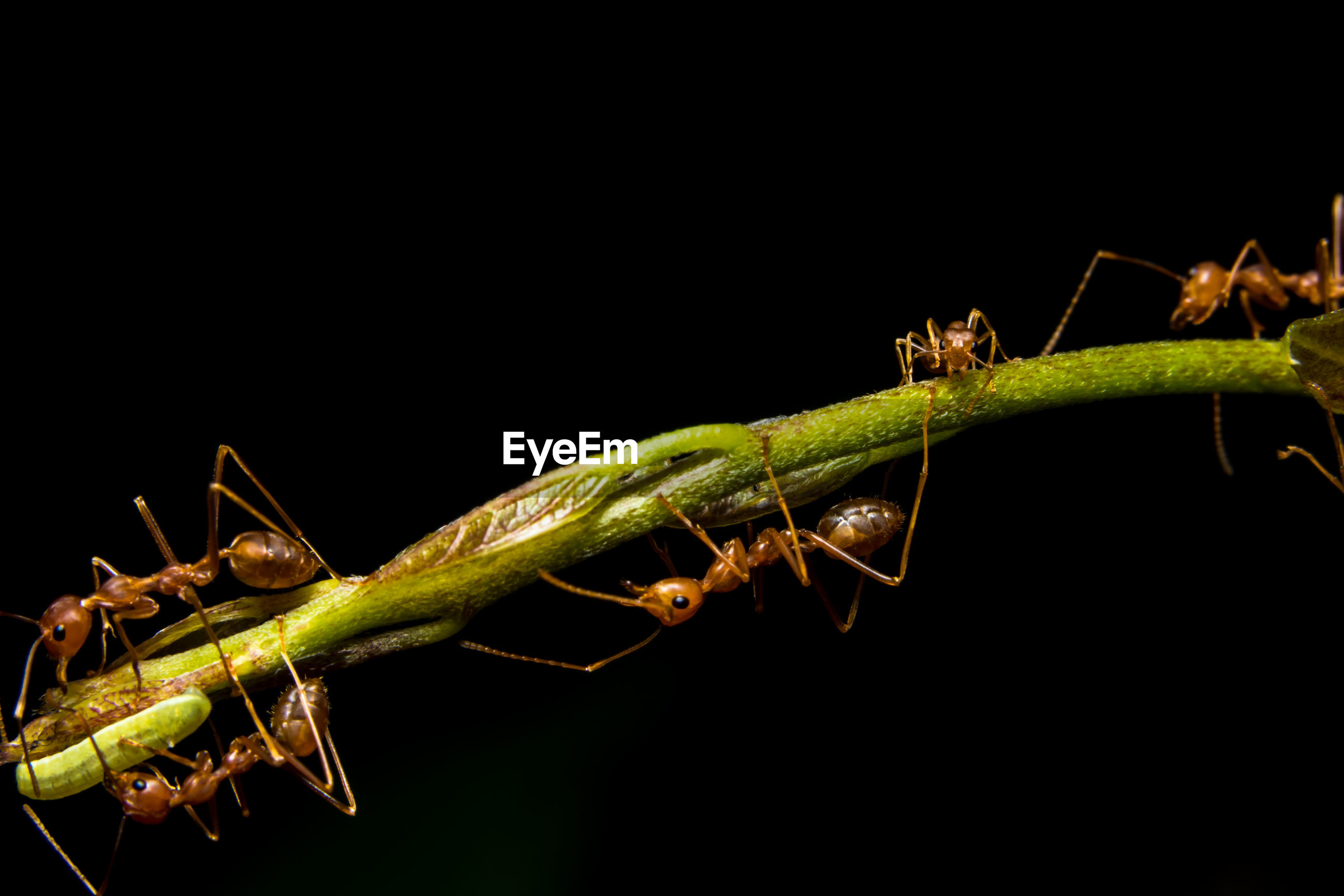 Red ants on twig against black background