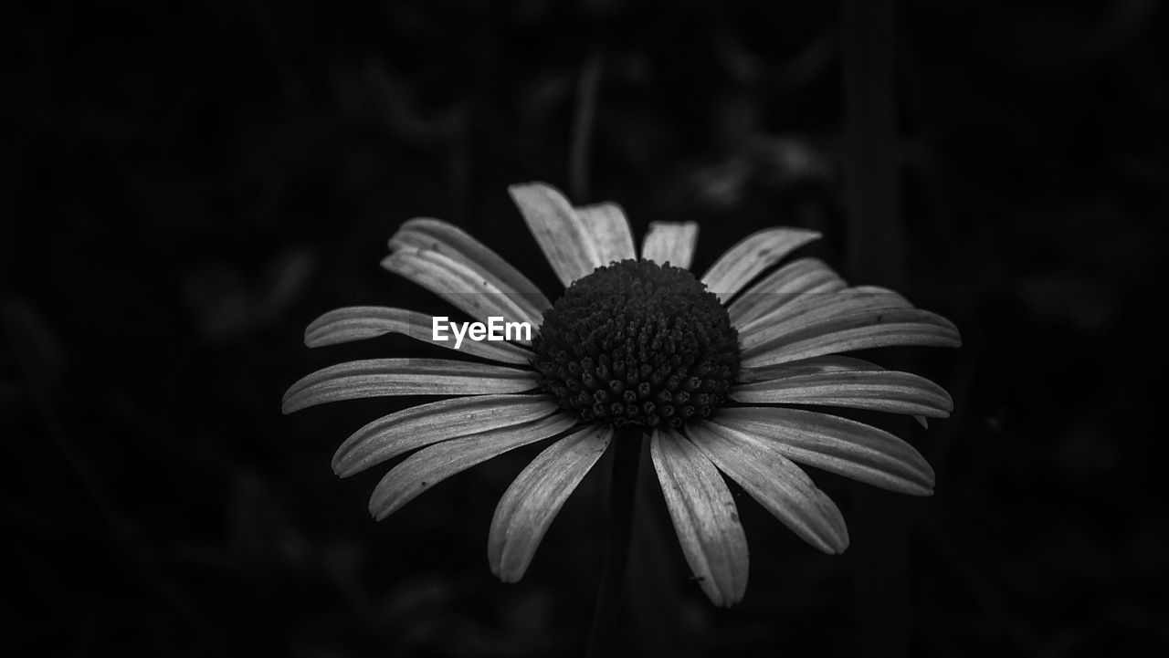 flower, fragility, petal, growth, flower head, plant, nature, focus on foreground, freshness, pollen, blooming, beauty in nature, no people, close-up, coneflower, day, outdoors, eastern purple coneflower, black-eyed susan