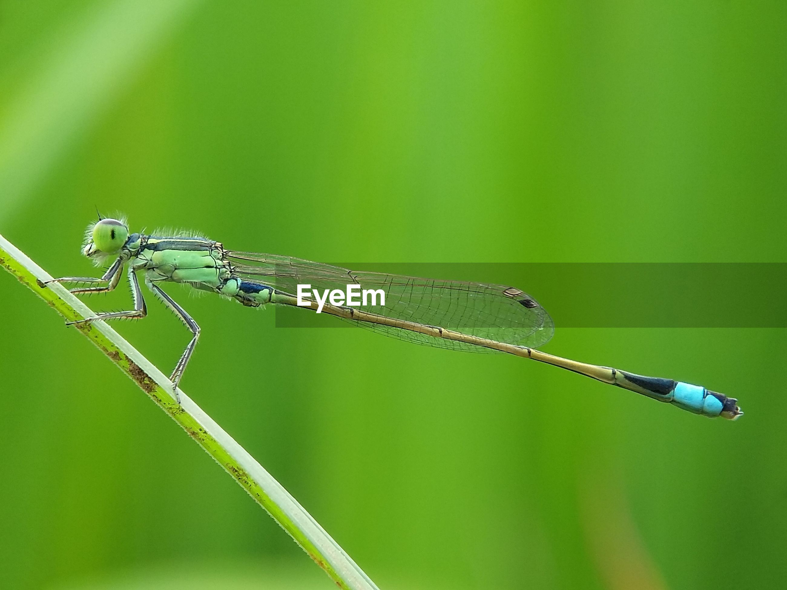 Close-up of damselfly on grass blade