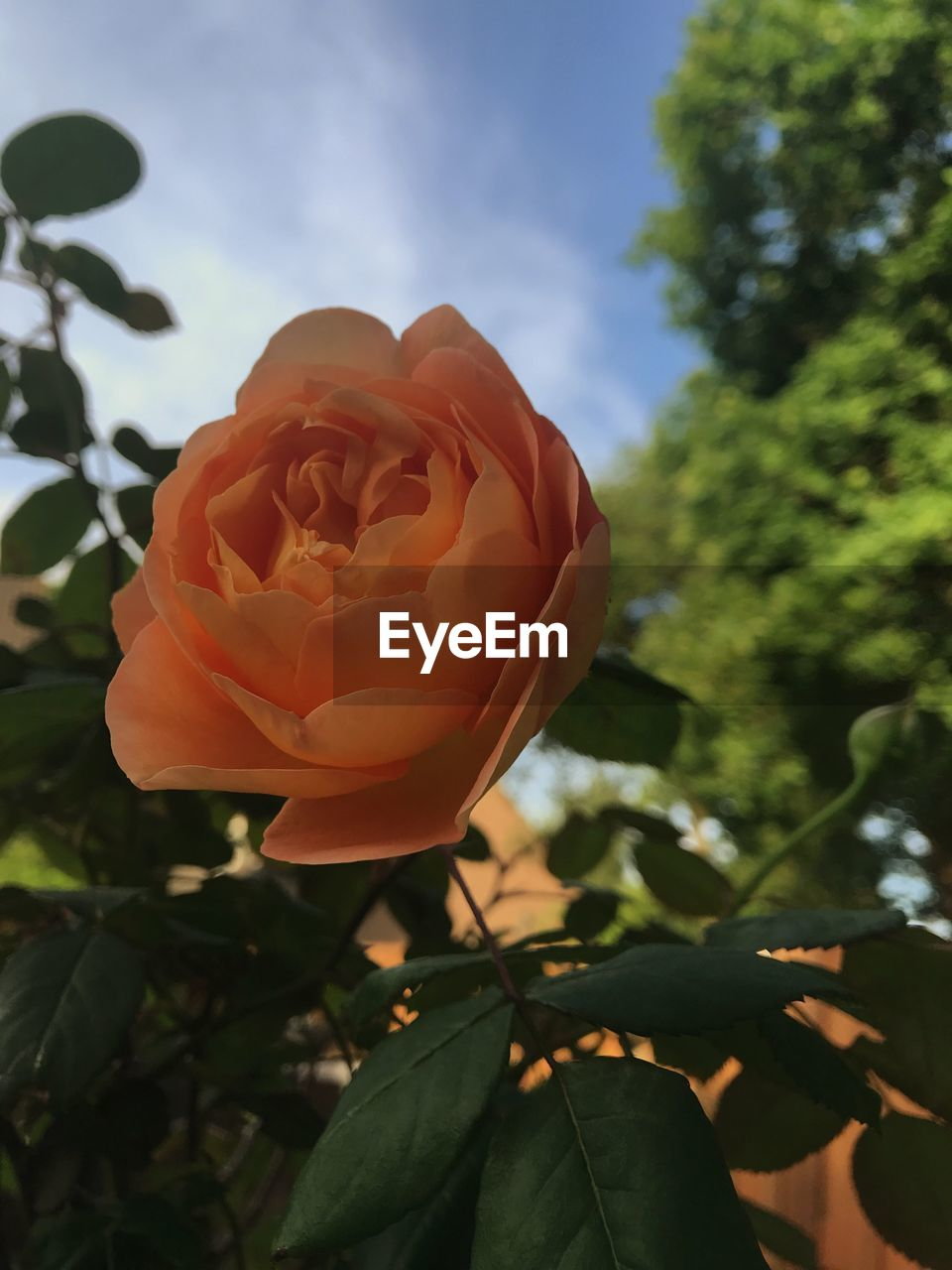 plant, beauty in nature, rose, vulnerability, flowering plant, fragility, petal, growth, close-up, nature, leaf, flower, freshness, plant part, rose - flower, flower head, inflorescence, day, sky, focus on foreground, no people, outdoors