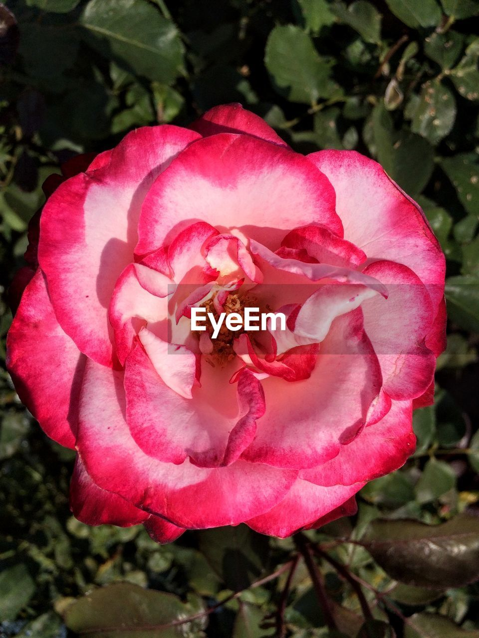 flower, flowering plant, petal, beauty in nature, freshness, plant, vulnerability, fragility, close-up, growth, flower head, pink color, inflorescence, rose, nature, focus on foreground, day, wild rose, rose - flower, no people, outdoors, pollen, softness