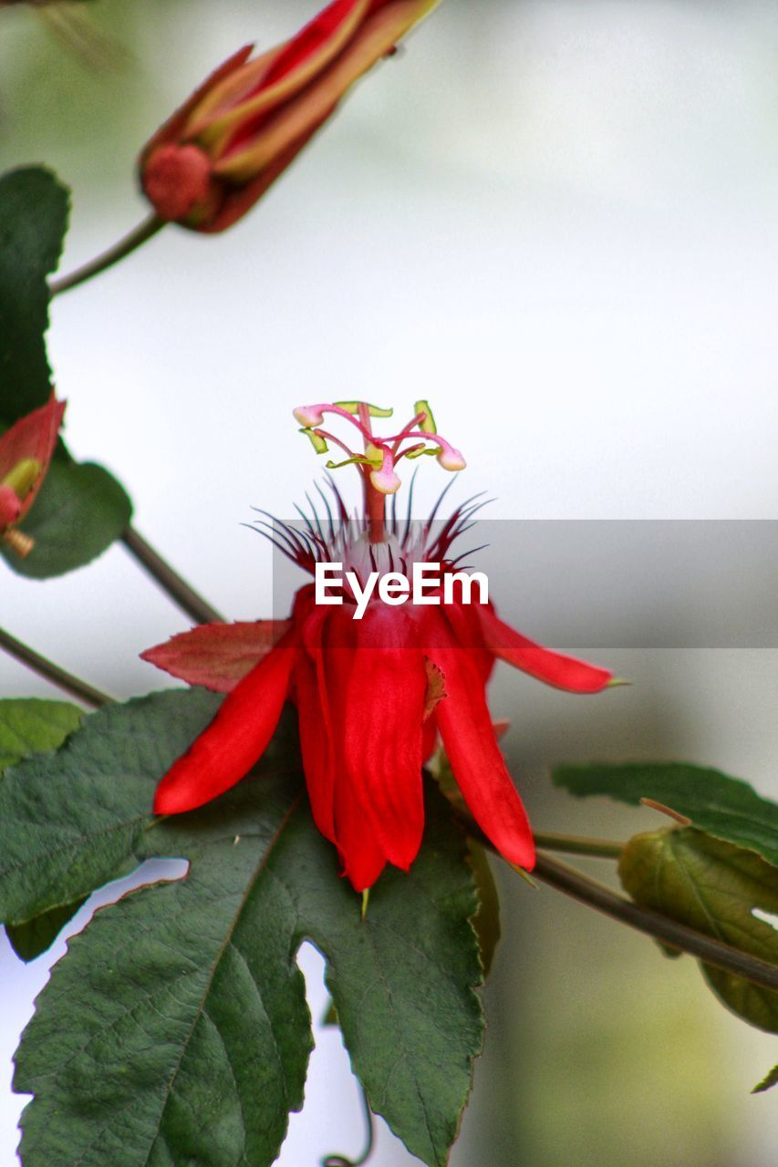 flowering plant, flower, plant, vulnerability, beauty in nature, fragility, freshness, growth, close-up, petal, flower head, red, inflorescence, nature, day, no people, focus on foreground, plant part, leaf, outdoors, pollen, sepal