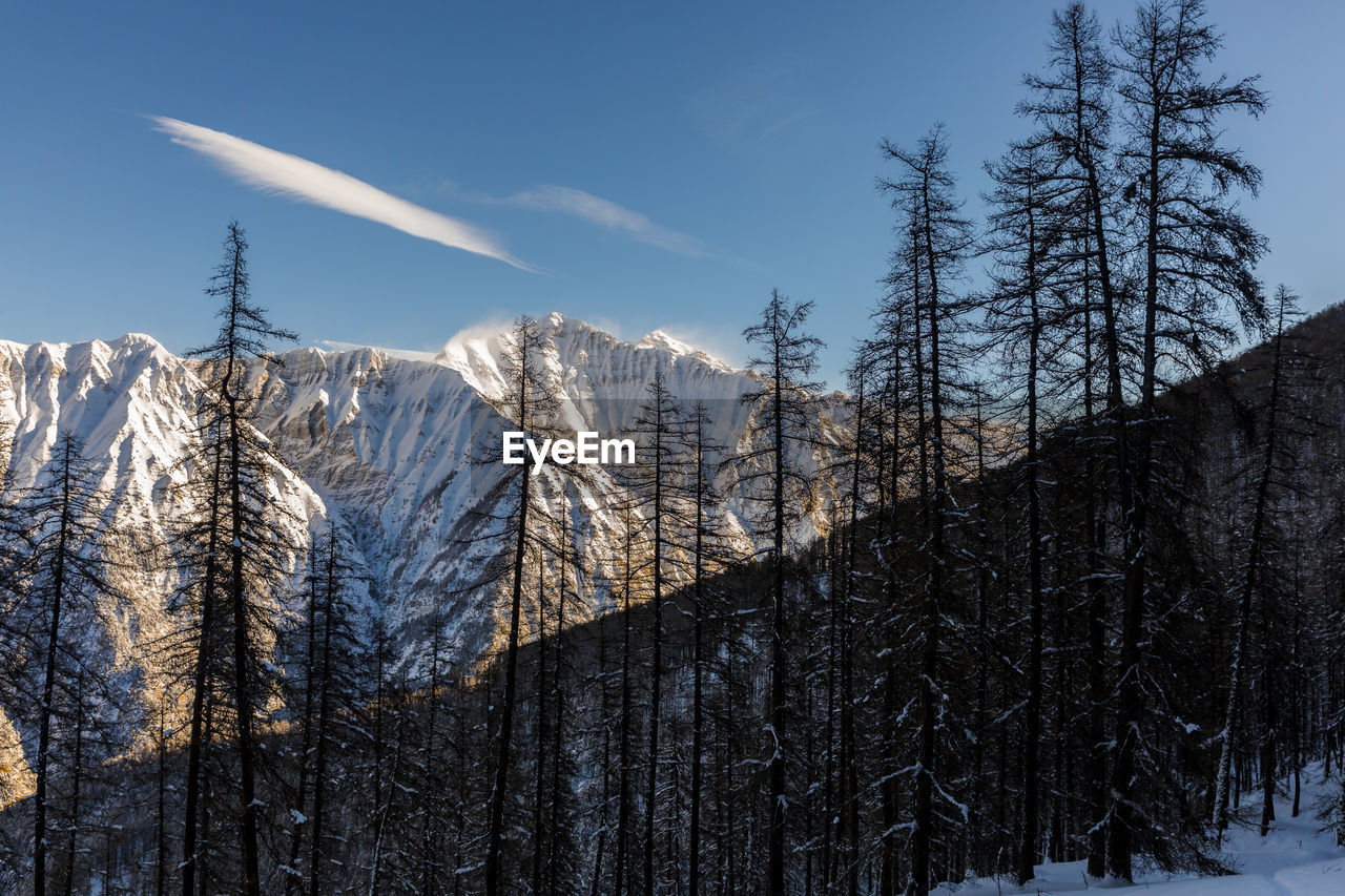 BARE TREES ON SNOW COVERED MOUNTAIN