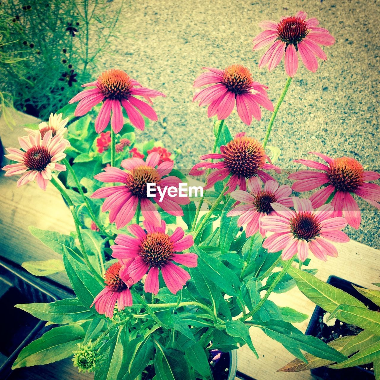 High Angle View Of Eastern Purple Coneflowers Blooming In Park