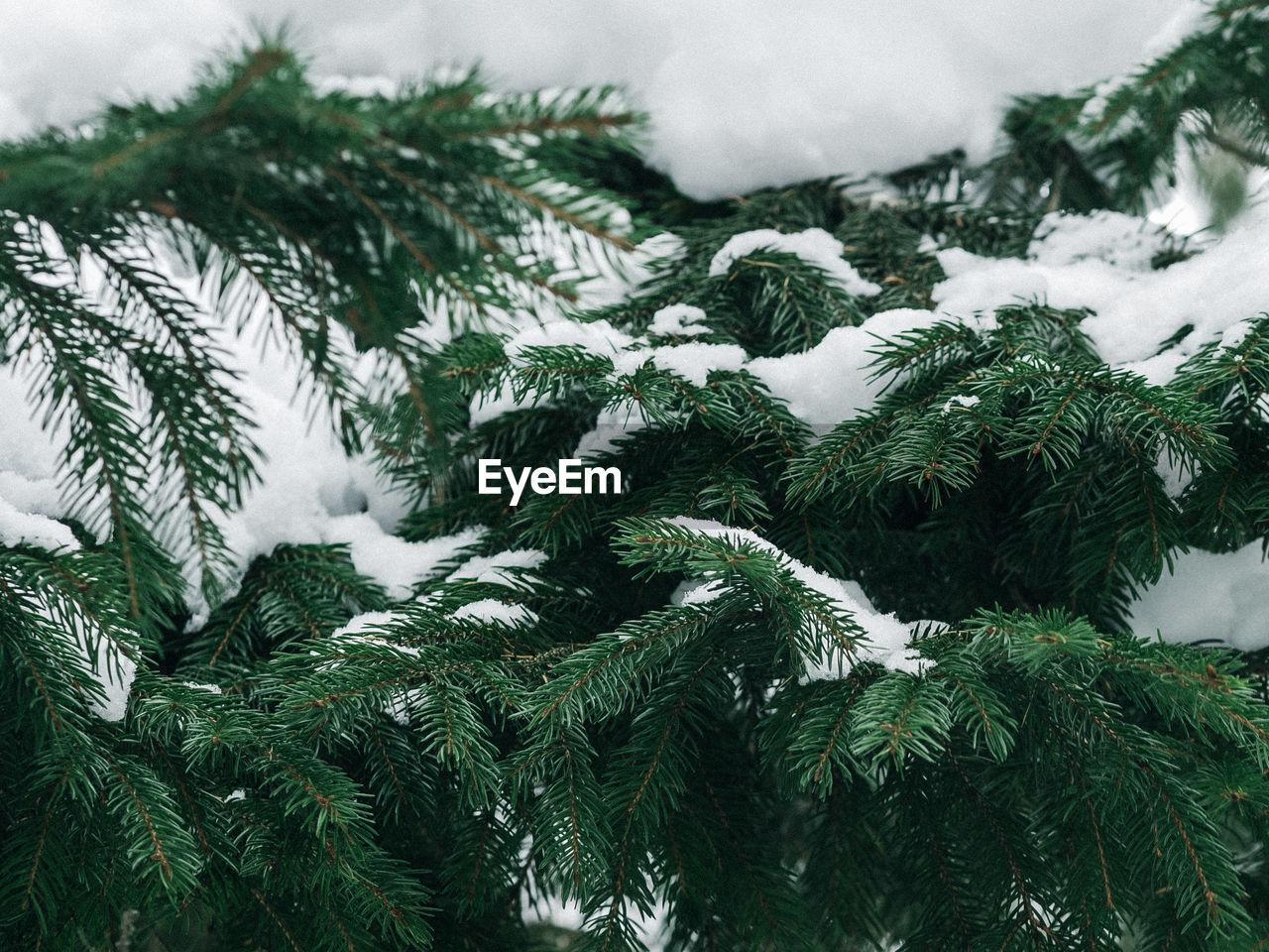 Close-Up Of Snow On Pine Tree During Winter