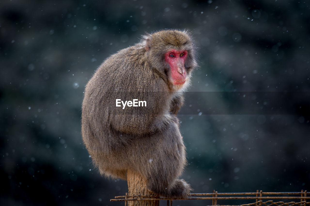 Monkey Sitting On Wooden Post