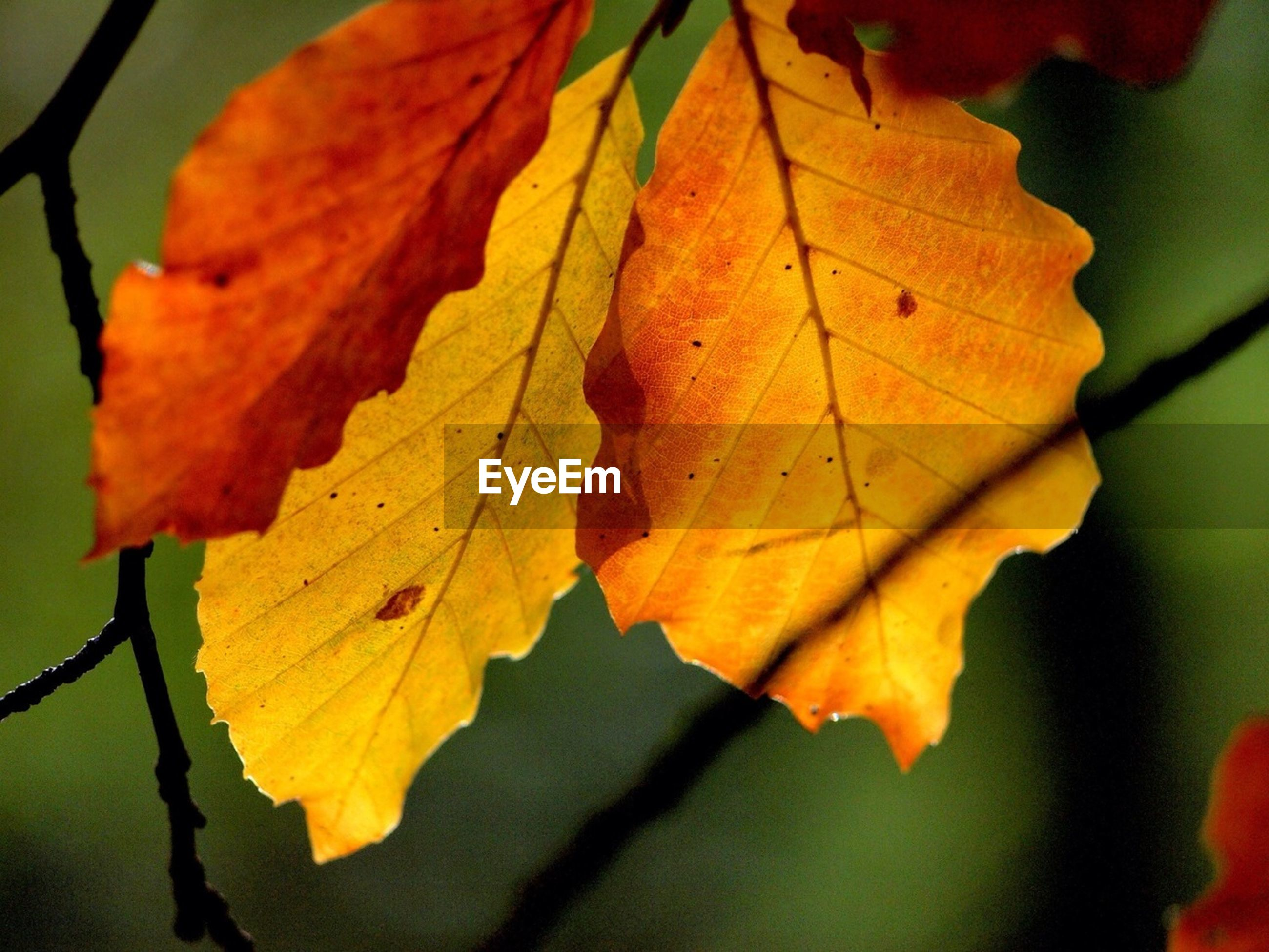 leaf, autumn, leaf vein, change, orange color, close-up, season, focus on foreground, leaves, nature, maple leaf, branch, natural pattern, growth, beauty in nature, selective focus, outdoors, no people, day, yellow