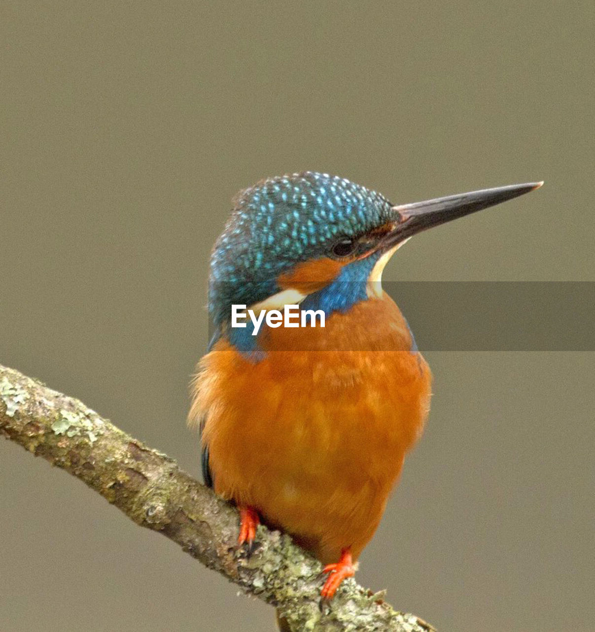 animal themes, animal, bird, animal wildlife, one animal, animals in the wild, vertebrate, perching, close-up, focus on foreground, branch, day, kingfisher, tree, nature, no people, looking, twig, plant, outdoors