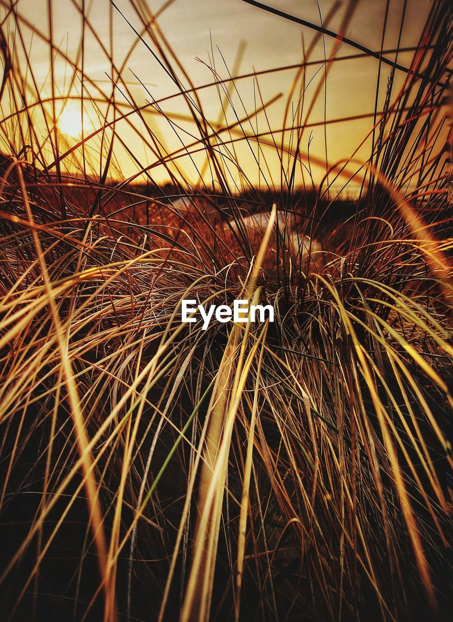 nature, sunset, sky, plant, no people, field, agriculture, growth, land, dry, grass, close-up, orange color, tranquility, outdoors, landscape, beauty in nature, selective focus, day, brown, timothy grass