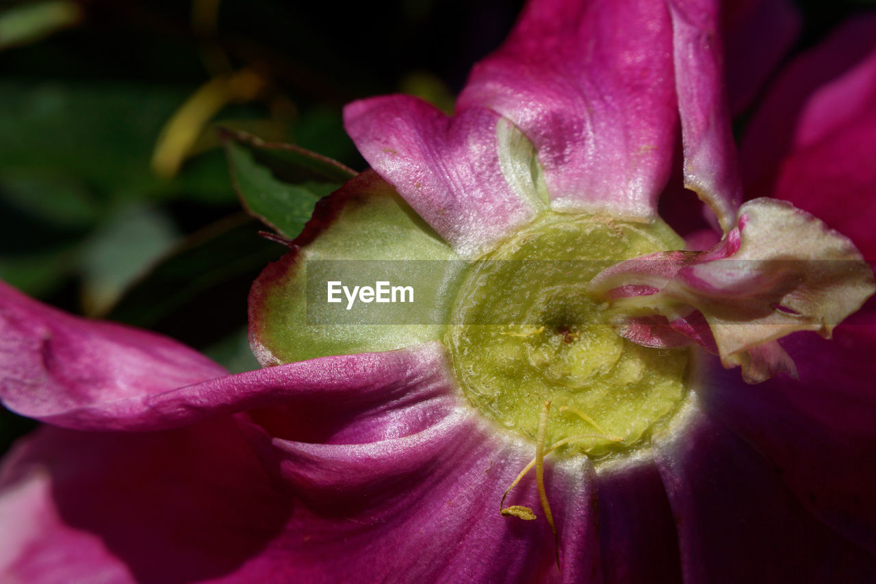 flower, petal, freshness, fragility, flower head, beauty in nature, growth, nature, close-up, purple, blooming, no people, plant, drop, outdoors, pink color, day, backgrounds, day lily