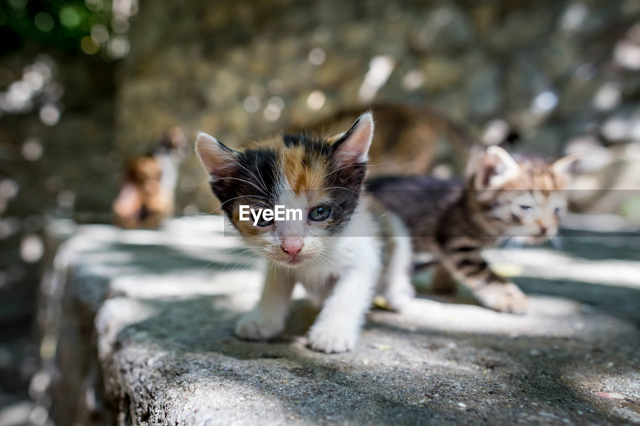animal themes, pets, mammal, domestic, animal, domestic animals, cat, domestic cat, feline, portrait, vertebrate, looking at camera, one animal, focus on foreground, no people, day, whisker, young animal, kitten, animal head