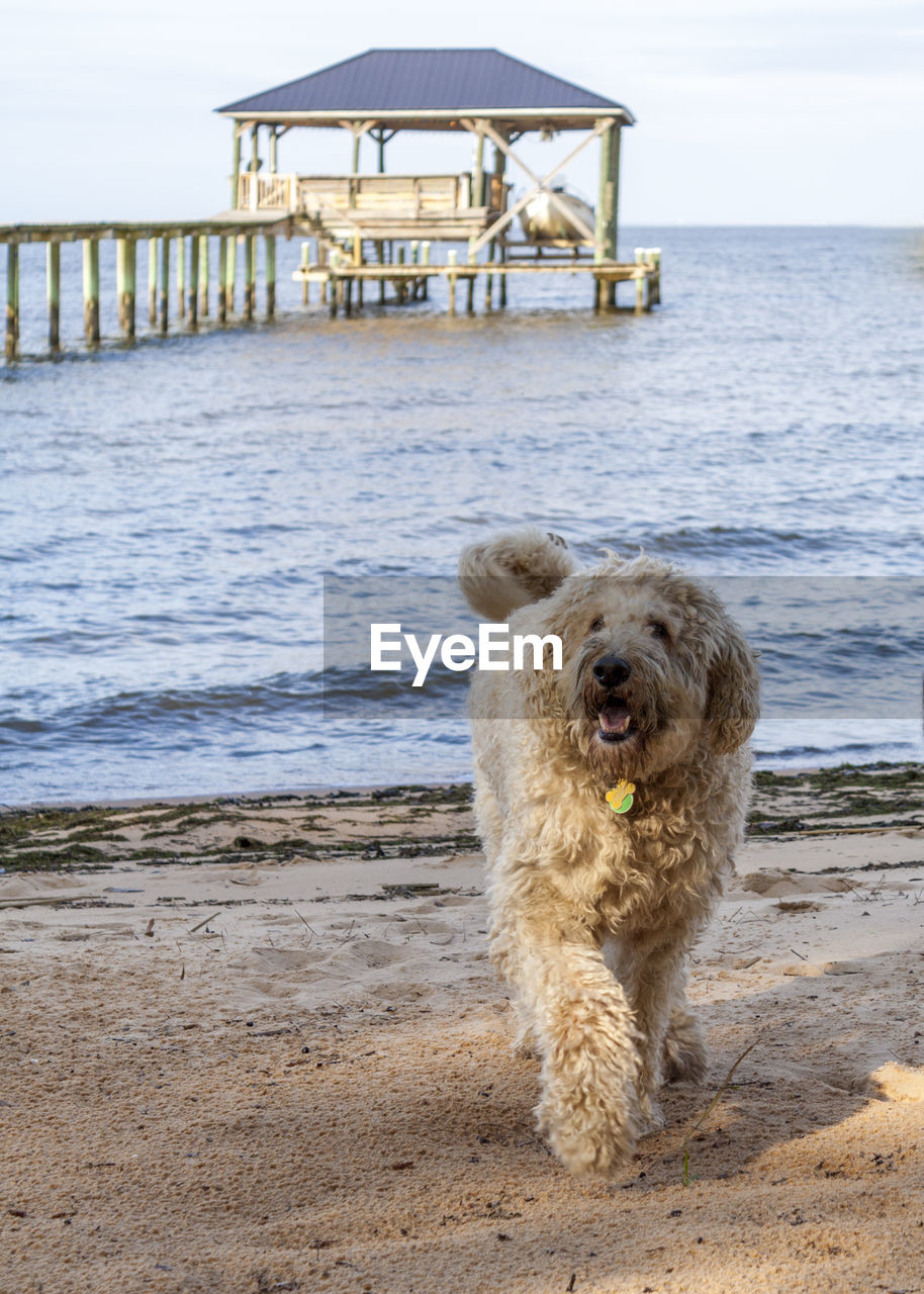dog, canine, water, one animal, pets, beach, animal, mammal, animal themes, sea, domestic, land, domestic animals, vertebrate, nature, sky, sand, day, no people, outdoors, horizon over water