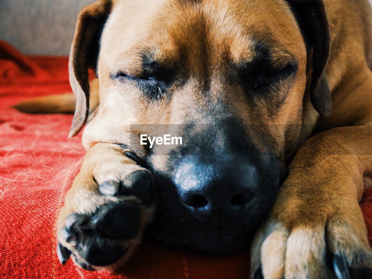 Close-Up Of Sleeping Black Mouth Cur On Bed