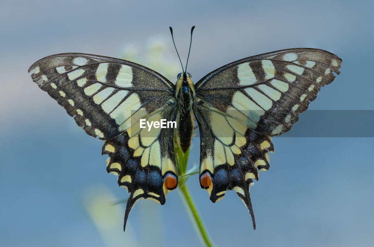 insect, animal wing, invertebrate, animal, animal themes, animal wildlife, animals in the wild, butterfly - insect, one animal, beauty in nature, nature, close-up, no people, day, flower, focus on foreground, animal markings, animal body part, plant, animal antenna, butterfly, pollination