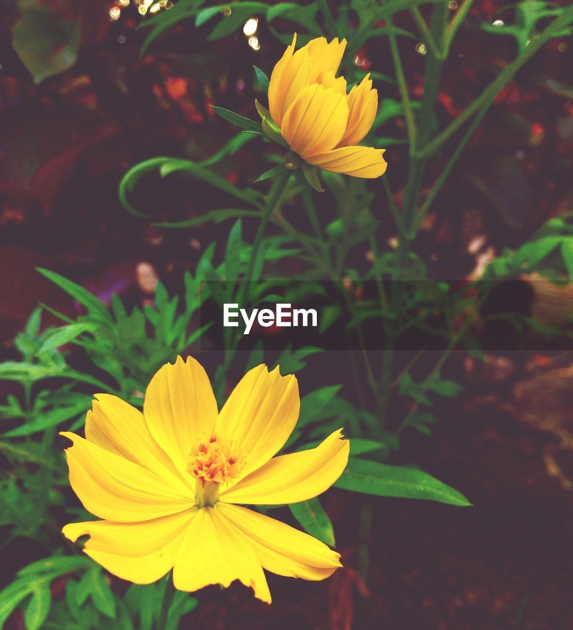 flower, petal, flower head, fragility, freshness, beauty in nature, yellow, nature, growth, plant, blooming, close-up, outdoors, no people, focus on foreground, cosmos flower, day