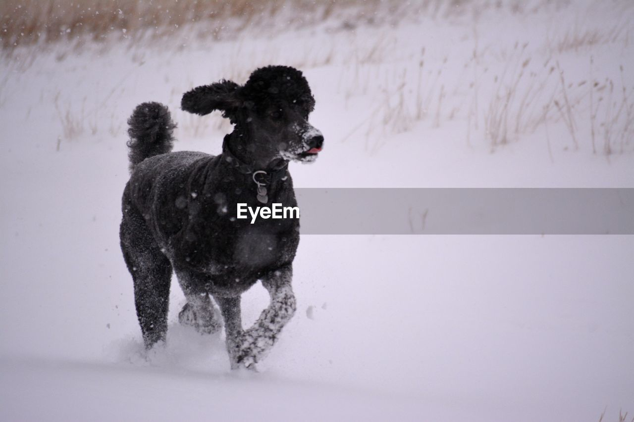 dog, domestic animals, snow, pets, mammal, animal themes, winter, field, weather, cold temperature, wet, nature, one animal, no people, day, outdoors, water, full length