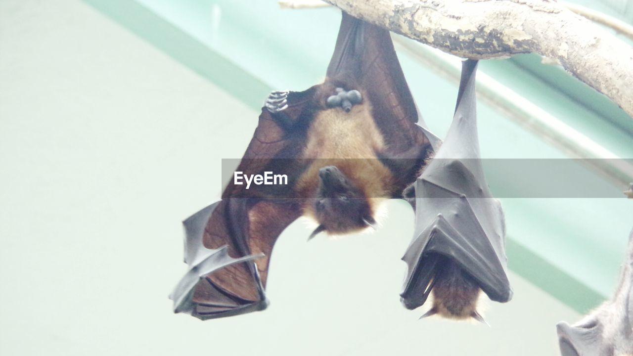 hanging, bat - animal, animal themes, no people, mammal, day, indoors, close-up, flying, nature
