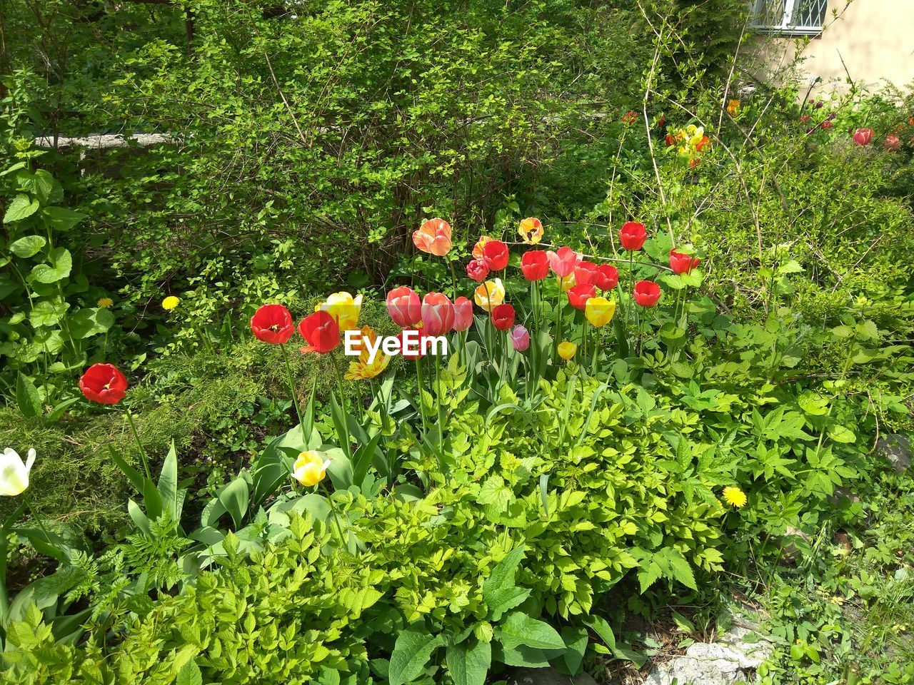 flower, growth, plant, nature, poppy, red, outdoors, beauty in nature, blooming, flowerbed, freshness, no people, day, flower head