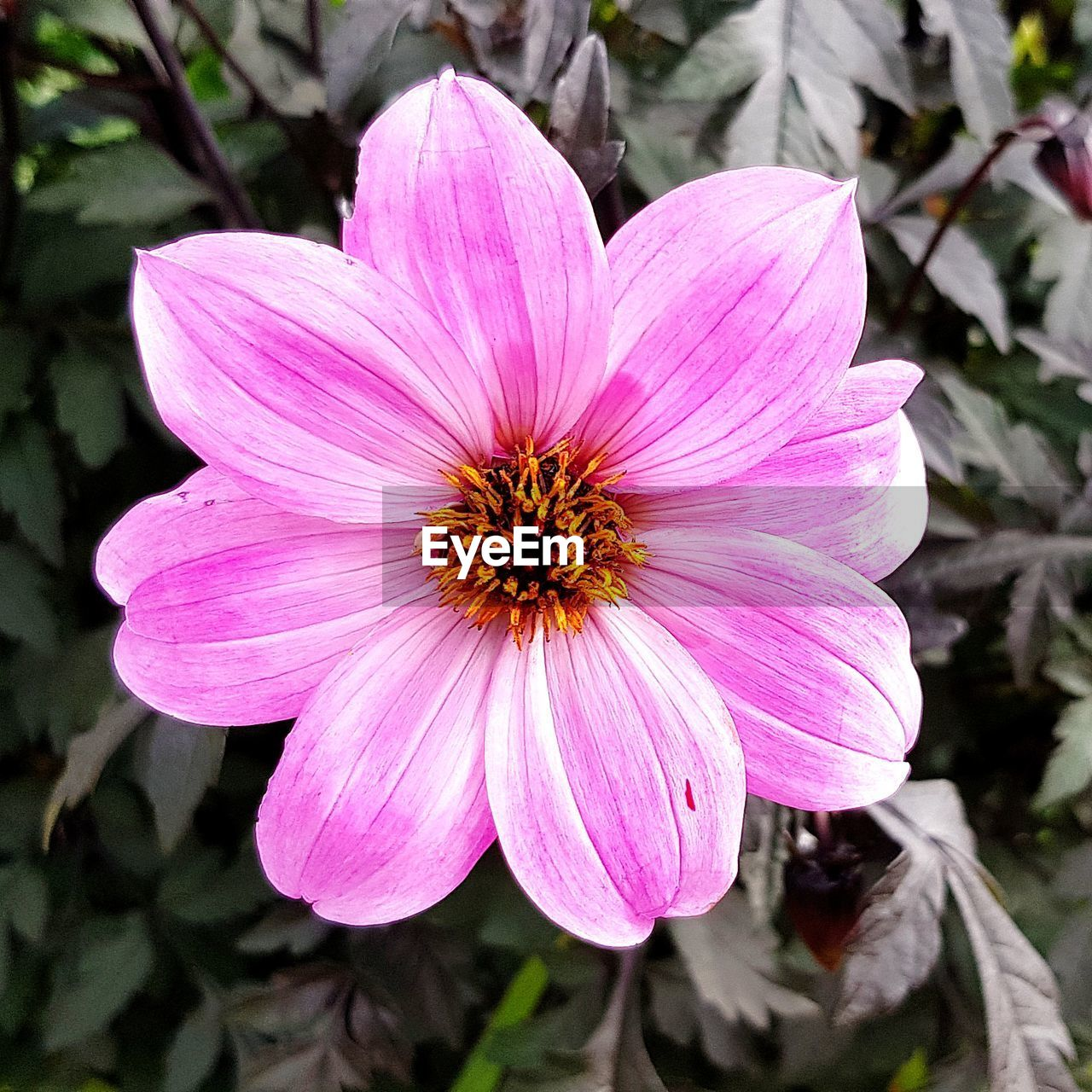 flower, flowering plant, fragility, freshness, vulnerability, plant, petal, inflorescence, flower head, beauty in nature, growth, close-up, pink color, pollen, focus on foreground, day, nature, no people, outdoors, gazania