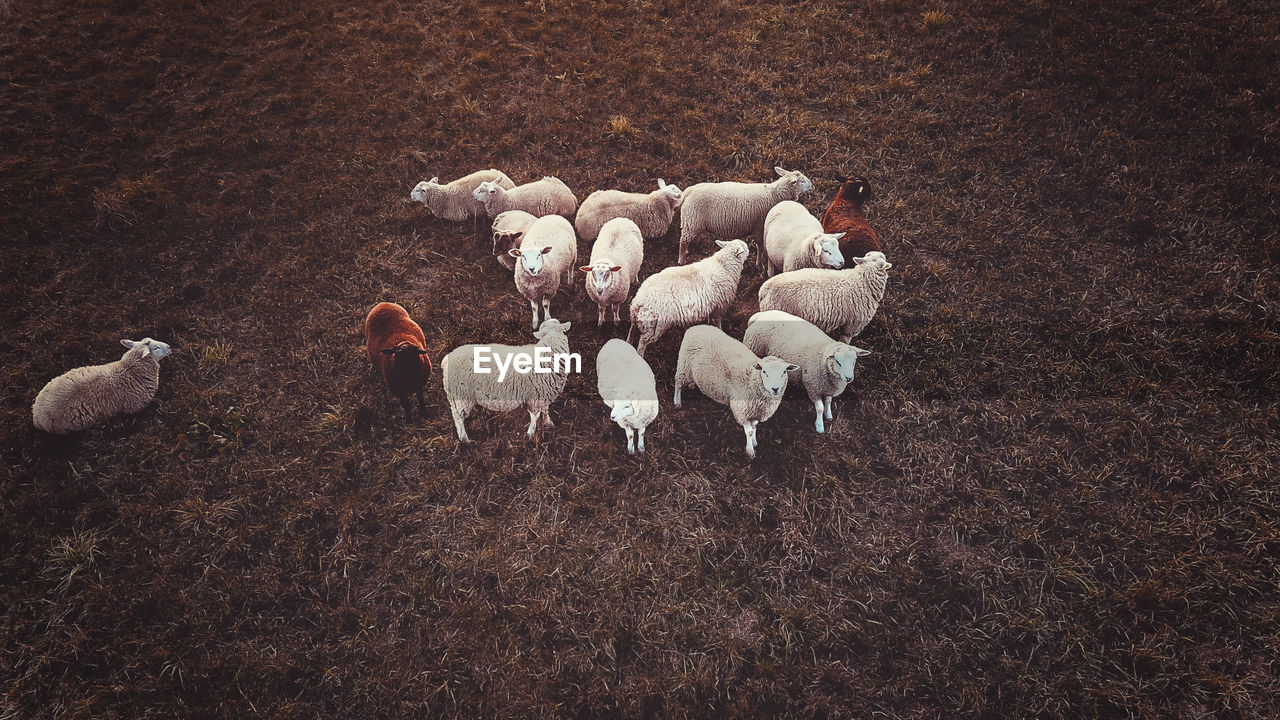domestic, livestock, pets, animal, group of animals, animal themes, mammal, domestic animals, sheep, vertebrate, land, field, high angle view, no people, nature, large group of animals, flock of sheep, day, herbivorous, outdoors, herd, animal family