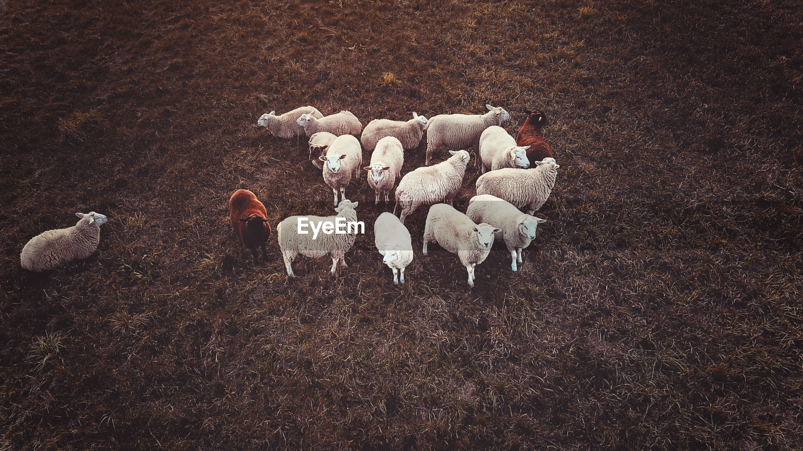 High angle view of sheep on field