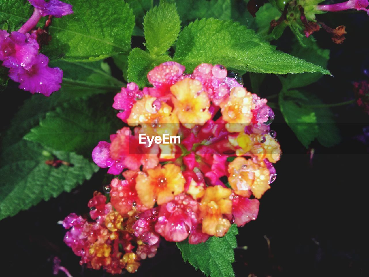 flower, growth, beauty in nature, freshness, fragility, lantana, leaf, lantana camara, plant, nature, petal, outdoors, green color, pink color, flower head, no people, day, close-up, blooming